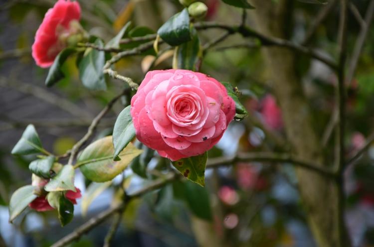 rosenanger