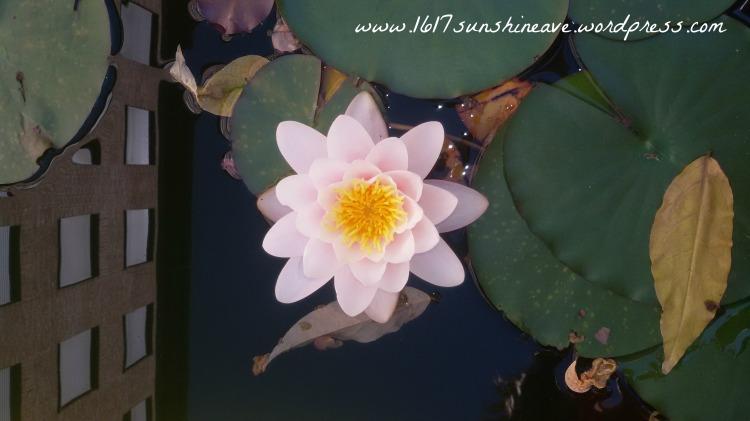 water rose .jpg